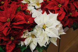 What are the Best Flowers for Christmas?